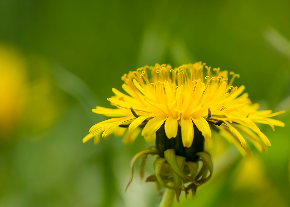 A Soft Yellow Dandelion In The Lawn