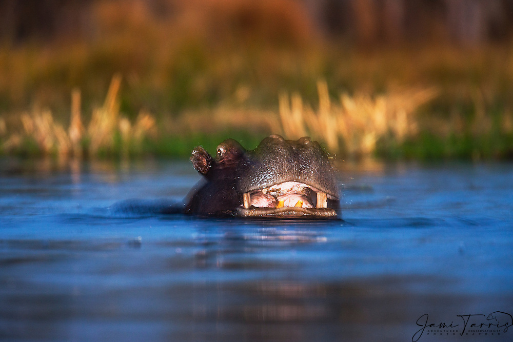 A hippopotamus bull (Hippopotamus amphibious)  pushes through the water and opens its mouth in a threat display, Khwai River, Botswana