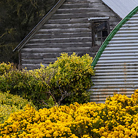 Buildings amidst yellow gorse bushes on Carcass Island, Falkland Islands.