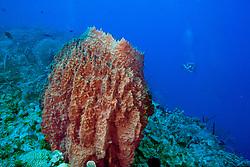 giant barrel sponge, .Xestospongia muta, .Cemetary Wall, .Cayman Brac (Caribbean)