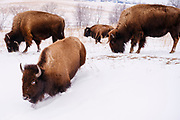 19 FEBRUARY 2021 - PRAIRIE CITY, IOWA: American Bison (buffalo) walk through a snow covered field at the Neal Smith National Wildlife Refuge near Prairie City, about 45 minutes from downtown Des Moines. The Wildlife Refuge has the largest herd of wild bison in Iowa and the only herd of wild elk in Iowa. Both animals were once native to Iowa and common in the state, but were hunted to extinction in 19th century. Controlled herds were reintroduced in the mid 20th century. Both the bison and elk herds are carefully managed to maintain genetic diversity.      PHOTO BY JACK KURTZ