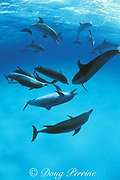 Atlantic spotted dolphins, Stenella frontalis, face off during aggressive social interaction with open-mouth threat displays and squawks, Little Bahama Bank, Bahamas ( Western Atlantic Ocean )
