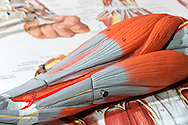 Medical teaching aid model of forearm muscles and tendons lying on charts.<br /> <br /> For larger JPEGs and TIFF Contact EFFECTIVE WORKING IMAGE via our contact page at : www.photography4business.com