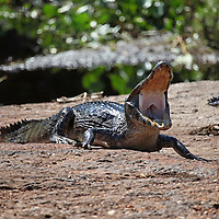South America, Brazil, Pantanal. Caiman comes ashore at the riverbank in the Caiman Ecological Reserve at the Pantanal.