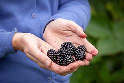 Harvesting blackberries
