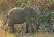 Young elephant play in  Kruger NP, South Africa