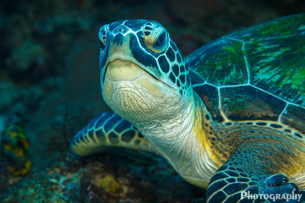 Hawksbill turtle, Eretmochelys imbricata, looking up from feeding on a coral reef