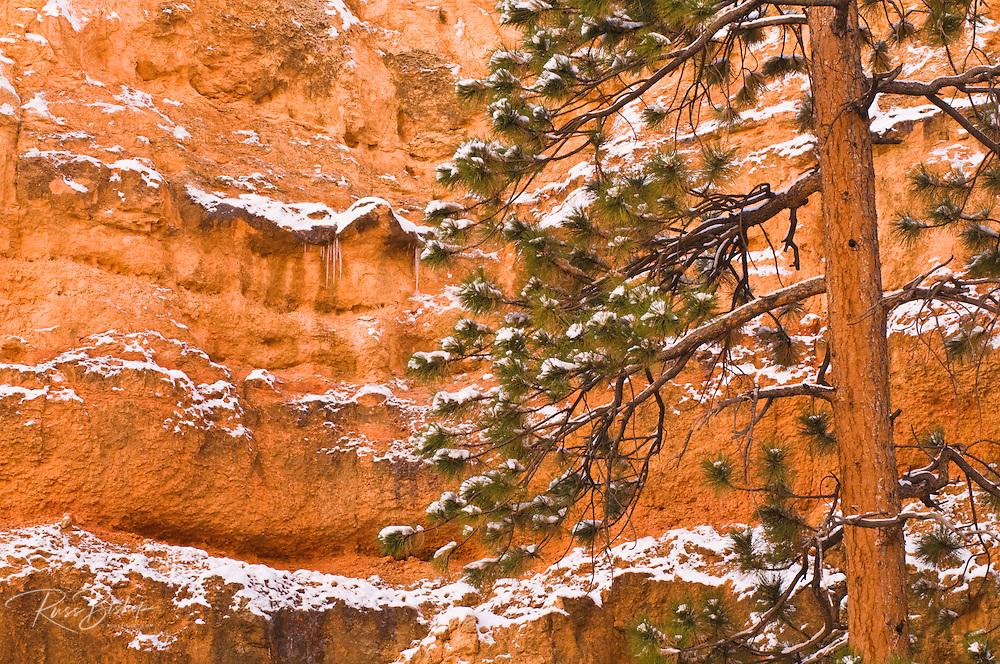 Fresh powder on pine and canyon wall, Bryce Canyon National Park, Utah USA