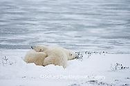 01874-107.09 Polar Bears (Ursus maritimus) mother and cub Churchill, MB Canada
