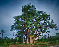 """The """"Big Tree"""" -- a Famous Baobab Tree Near Victoria Falls in Zimbabwe. It took a fisheye lens to get it all in the frame. HDR composite of three images taken with a Fuji X-T1 camera and Bower 8 mm f/2.8 fisheye lens."""