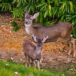 """""""Veado-Mula (Odocoileus hemionus) fotografado em São Fransisco, nos Estados Unidos da América - EUA. Registro feito em 2018. <br /> ⠀<br /> ⠀<br /> <br /> <br /> <br /> <br /> ENGLISH: Mule Deer photographed in San Fancisco, in United States of América - USA. Picture made in 2018."""""""