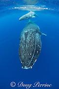 humpback whale mother and calf, Megaptera novaeangliae, approaching camera, Vava'u, Kingdom of Tonga, South Pacific