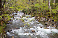 66745-039.05 Middle Prong of the Little Pigeon River in spring, Greenbrier Area, Great Smoky Mountain National Park, TN