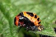Harlequin Ladybird - Harmonia axyridis pupa