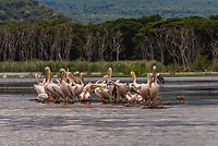 Great White Pelican, Nechisar National Park, Lake Chamo, Arba Minch, Ethiopia. Lake Chamo is one of the two largest Rift Valley lakes.