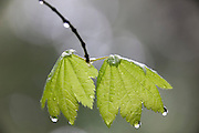 Rain falls and drips from the leaves of a vine maple tree in Twin Falls State Park near North Bend, Washington.