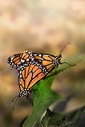A macro shot of a pair of mating Monarch Butterflies