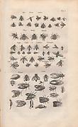 Copperplate print of various flies from Johannes Jonston book of nature 'Dr. I. Ionstons Beschrijving vande natuur der vogelen neffens haer beeldenissen in koper gesneden' Published in Amsterdam in 1660