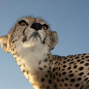 Cheetah (Acinonyx jubatus) portrait. Masai Mara National Reserve, Kenya, Africa