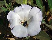 Carpenter Bee / Xylocopa