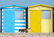 © Licensed to London News Pictures. 14/04/2015. Seaford, UK. A dog walks past colourful beach huts. People in the early morning sea mist and sunshine in Seaford today 14th April 2015. Today is expected to be a very warm day across Britain. .. Photo credit : Stephen Simpson/LNP