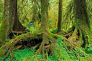 A colonnade of western hemlock trees (Tsuga heterophylla) growing from a nurse log, Hoh Rain Forest, Olympic National Park, Washington USA