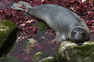 An Elephant seal lazes in the calm waters of a cove along the coast line of the Southeast Farallon Island, part of the Farallon National Wildlife Refuge, May 12, 2005.