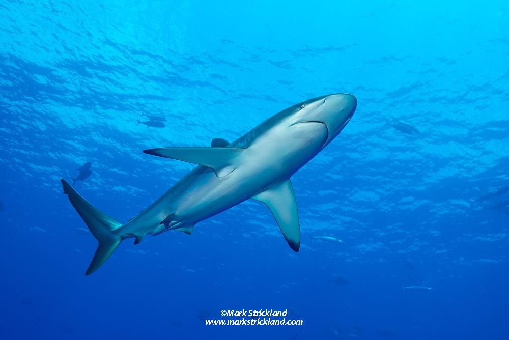 Silky Shark, Carcharhinus falciformis, Roca Partida, Revillagigedos Archipelago, Mexico, Pacific Ocean