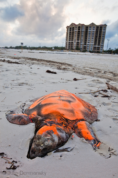 Dead sea turtle on the beach in Gulfport Mississippi,  painted orange by the Institute for the Marine Mammal Studies so it wont be counted a second time, left on the beach until a crew comes to remove it. <br /> An unprecedented number of dead young  Kemp's Ridley and Loggerhead  sea turtles have washed up on the shores of Mississippi along the Gulf of Mexico starting almost a year after the BP oil spill. <br /> Test are being done on the high number of turtle and dolphin corpses found on the beaches but results have not been released.