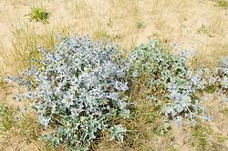 Blauwe zeedistel, Eryngium maritimum