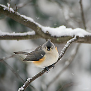 The tufted titmouse (Baeolophus bicolor) is a small, common songbird found throughout the east coast of the United States, to southern Ontario, Canada and westward to the plains of central Texas, Oklahoma, Nebraska, Kansas, and Iowa.  They are 5.9–6.7 inches long, weigh 0.6–0.9 ounces and have a lifespan of 2–13 years.  The highest population densities of tufted titmice occur along the Ohio, Cumberland, Arkansas, and Mississippi rivers where they prefer deciduous and mixed-deciduous forests, especially those with a dense canopy or tall vegetation. Tufted titmice feed on insects and seeds. This angry-looking tufted titmouse is waiting out a winter blizzard in Belmont, Massachusetts.
