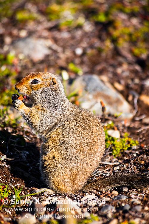 Close up of Arctic Ground Squirrel chewing food, Kesugi Ridge, Denali State Park, Southcentral Alaska, Summer. Vertical image.