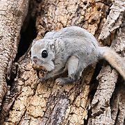 This is a Japanese dwarf flying squirrel (Pteromys volans orii) that has just come out from its nest., entrance visible to left and above the animal's head. These flying squirrels are nocturnal, but occasionally emerge during daylight hours.