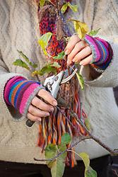 Pruning a fruit tree