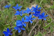 Blue Gentiana a genus of flowering plants belonging to the Gentian family (Gentianaceae)