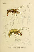 Rhynchocinete [Rhynchocinetus] and Palemon [Paloemon] Crustaceans (Crustacea) form a large, diverse arthropod taxon which includes such animals as crabs, lobsters, crayfish, shrimps, prawns, krill, woodlice, and barnacles hand coloured sketch From the book 'Voyage dans l'Amérique Méridionale' [Journey to South America: (Brazil, the eastern republic of Uruguay, the Argentine Republic, Patagonia, the republic of Chile, the republic of Bolivia, the republic of Peru), executed during the years 1826 - 1833] Volume 6 Part 1 (Crustacean). By: Orbigny, Alcide Dessalines d', d'Orbigny, 1802-1857; Montagne, Jean François Camille, 1784-1866; Martius, Karl Friedrich Philipp von, 1794-1868 Published Paris :Chez Pitois-Levrault. Publishes in Paris in 1843