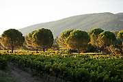 Large round trees are scattered amongst grape plants on a vineyard in Menerbes, France