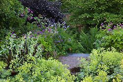Cerinthe major 'Purpurascens' and Eucomis in a pot with Alchemilla mollis, geraniums, sambucus and magnolia at Glebe Cottage
