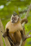Brown Capuchin Monkey (Cebus apella) in Mato Grosso do Sul, Brazil.