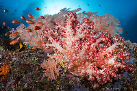 Soft Corals, Sea Fans, and Anthias<br /> <br /> Shot in Raja Ampat Marine Protected Area West Papua Province, Indonesia