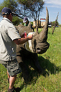 White Rhinoceros (Ceratotherium simum) darted for relocation. Conservation Solutions Kester Vickery & Vet Andre Uys<br /> Private Game Reserve<br /> SOUTH AFRICA<br /> RANGE: Southern & East Africa<br /> ENDANGERED SPECIES