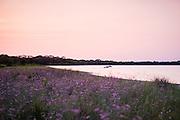 A walk along the thistles on a summer evening in Rhode Island.