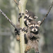 Raccoon (Procyon lotor) young hanging on a sapling in Montana. Captive Animal