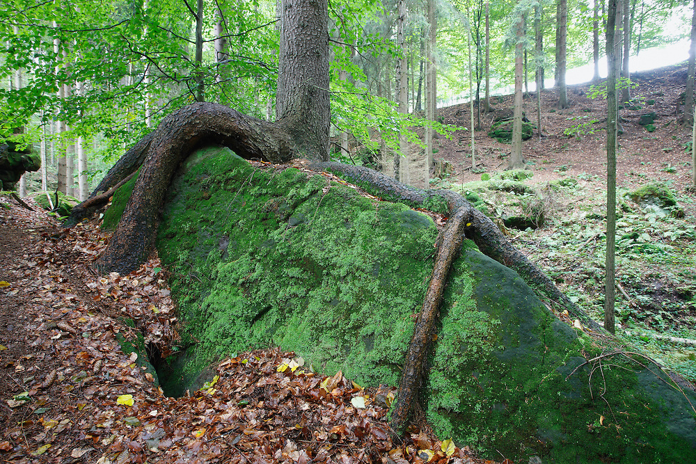 FOREST. NORWAY SPRUCE, PICEA ABIES, CESKE SVYCARSKO. CZECH REPUBLIC.
