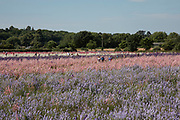 Acres of delphiniums and cornflowers in bloom on the Wyke Manor Estate in Worcestershire on 3rd July 2018 in Wick, near Pershore, United Kingdom. The Confetti Flower Field is a spectacular sight, and is run by the Real Flower Petal Confetti Company, the UK's original wedding petal grower who grow natural, biodegradable wedding confetti. The Wyke Manor Estate in Worcestershire is alive with colour each summer with Delphinium and wildflowers. The Confetti Flower Field is open to the public for a short time each summer so visitors can come and enjoy the amazing colours.