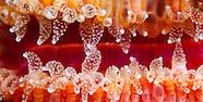 Monomyces rubrum (Cup coral)
