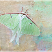 Luna moth, a type of giant silk moth rarely seen due to its one-week lifespan. Luna moths are thought to signify new beginnings.