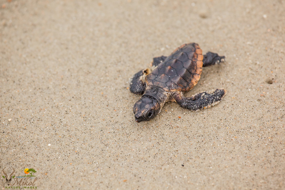 Loggerhead Sea Turtle Hatchling with Deformed Flipper