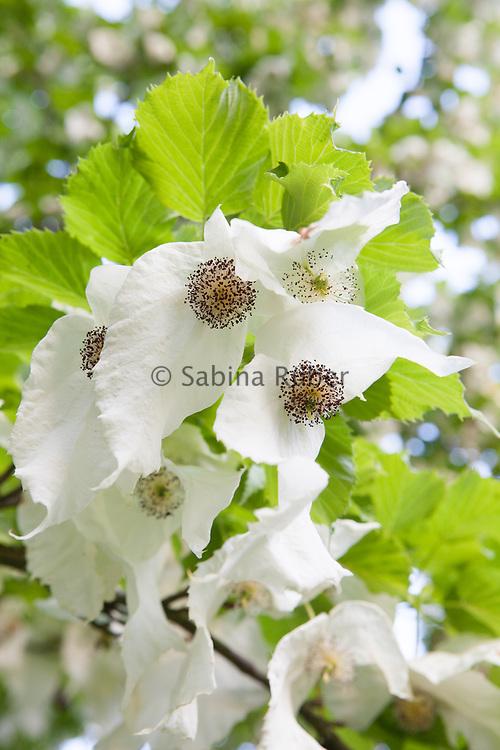 Davidia involucrata - handkerchief tree