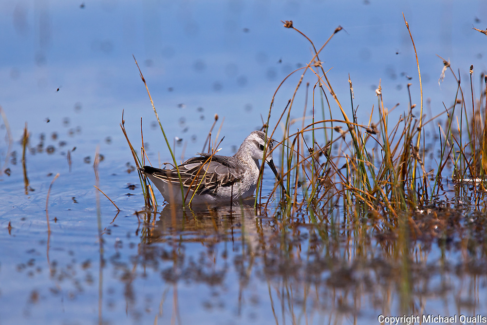 Wilson's Phalarope in the weeds at the shore of Mono Lake.  Looking for alkali flies.